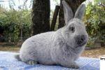 Кролик серебристый