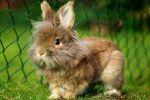 Львиноголовые кролики уход исодержание