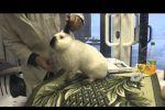 Калифорнийская порода кроликов , оценка эксперта