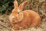Бургундская порода кроликов: фото и описание