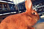 Бургундский кролик: описание, особенности