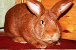 Фото — кролик бургундской