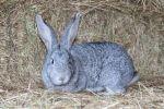 Кролики породы Шиншилла с красивым мехом