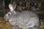 Особенности кроликов породы Шиншилла