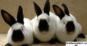 Подробнее: Содержание и выращивание кроликов калифорнийской породы