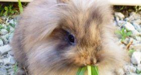 Подробнее: Порода кроликов львиноголовый