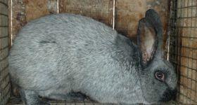 Подробнее: Кролик серебристый