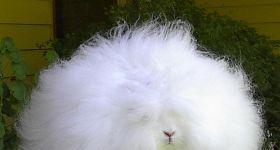 Подробнее: Ангорский кролик характеристика,признаки породы
