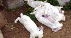 Подробнее: Геморрагическая болезнь кроликов (ВГБК)