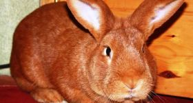 Подробнее: Бургундская порода кроликов