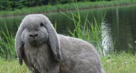 Подробнее: Кролики породы Баран