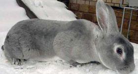 Подробнее: Кролики Рекс особенности породы, советы по содержанию