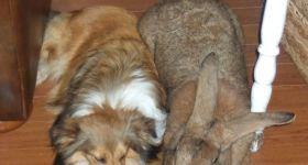 Подробнее: Кролики породы Ризен