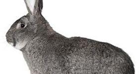 Подробнее: Кролики породы советская шиншилла