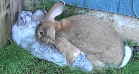 Подробнее: Технология и советы по случке и спариванию кроликов