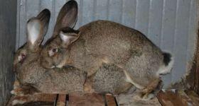 Подробнее: Понять, что случка кроликов прошла успешно, можно по самцу