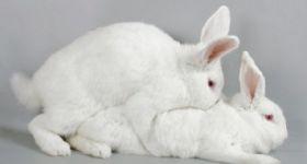 Подробнее: Чтобы получить большое количество здоровых крольчат, фермер должен знать особенности случки