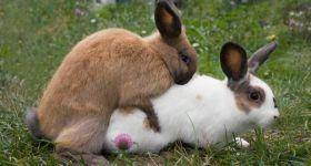Подробнее: Спаривание кроликов в домашних условиях